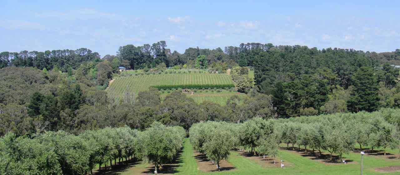 Artisan Olive Oil in the Mornington Peninsula