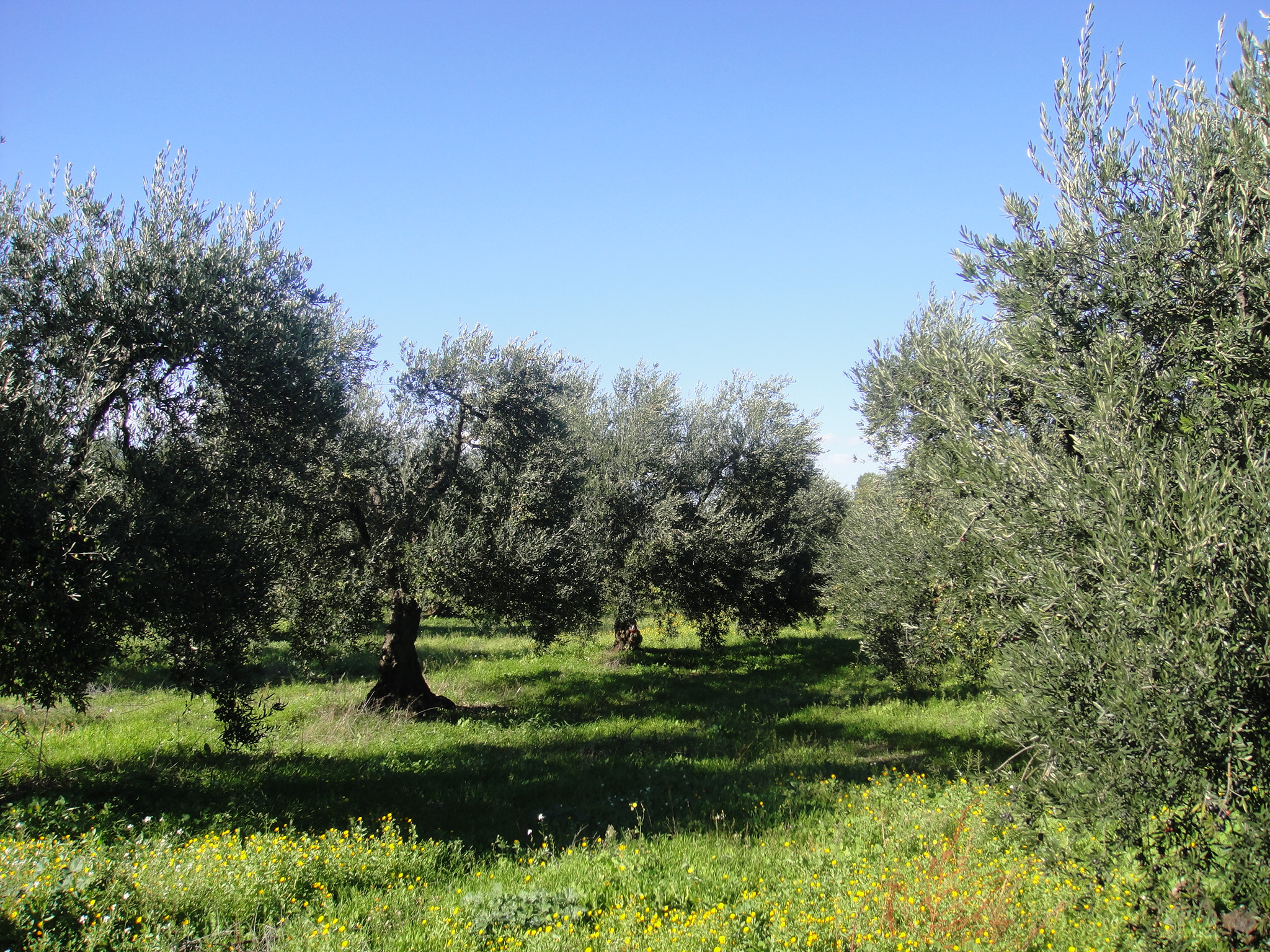 The Quality Olive Oil Challenge: Musings on the CIA/UC Davis Olive Center Seminar