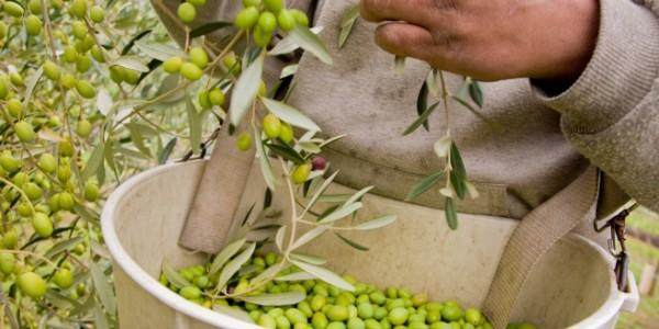 5  hand picking olives low rezMcEvoy