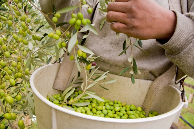 Extra-Virgin Olive Oil: Influences on Flavor